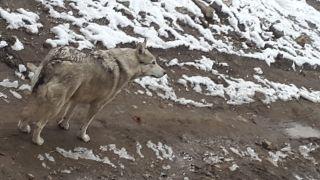 İşe gitmek için evden çıktı, kurtla karşılaştı