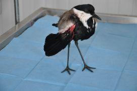 Türkiye'de nadir görülen mahmuzlu kız kuşu yaralı bulundu