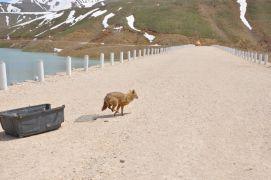 Bitkin bulunan tilki doğal ortamına bırakıldı