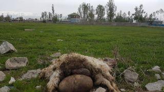 Yüksekova'da başıboş köpekler 18 keçiyi telef etti