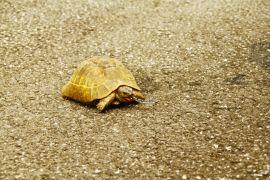 Yüksekova'da yılan yiyen kaplumbağa görüntülendi