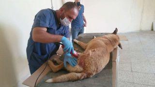 Ayakları kırılan köpek Van'a sevk edildi