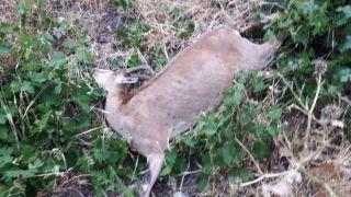 Yüksekova'da silahla vurulmuş dağ keçisi bulundu