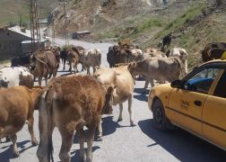 Zabıta ekipleri şehir merkezine başıboş bırakılan hayvanları topladı