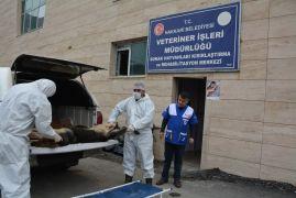 Hakkari'de 2 günde 100 hayvan kısırlaştırıldı
