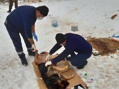 Kurtların saldırdığı köpek tedavi altına alındı