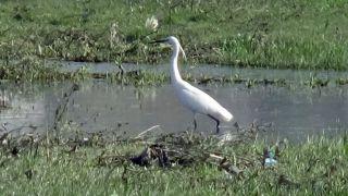 Nehil Sazlığı'nda göçmen kuş yoğunlu
