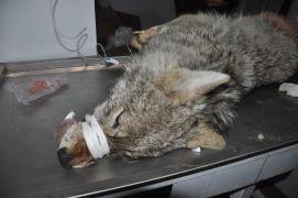 Yüksekova'da günlerdir korku salan kurt yakalandı