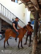 Kurtların saldırısına uğrayan at telef oldu